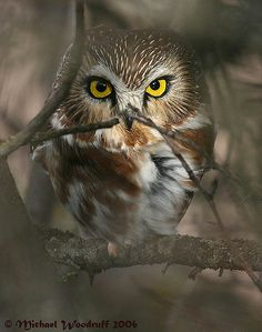 northern saw-whet owl  (photo by michael woodruff)
