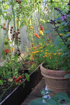 Kääpiösamettikukka kannattaa kasvattaa itse siemenestä. blogit.meillakotona.fi/sonjanpuutarhassa