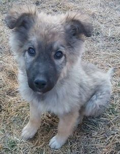 Brian  12 week old male Cross-Breed #cutedogs #cute #dogs #dog #pets #babblepets