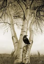 ".""Raven and Birch Trees"""