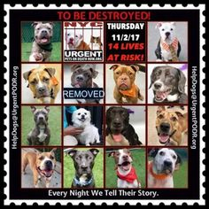 TO BE DESTROYED 11/02/17 - - Info   To rescue a Death Row Dog, Please read this:http://information.urgentpodr.org/adoption-info-and-list-of-rescues/  To view the full album, please click here:http://nycdogs.urgentpodr.org/tbd-dogs-page/ -  Click for info & Current Status: http://nycdogs.urgentpodr.org/to-be-destroyed-4915/ #dogbreedsforkids