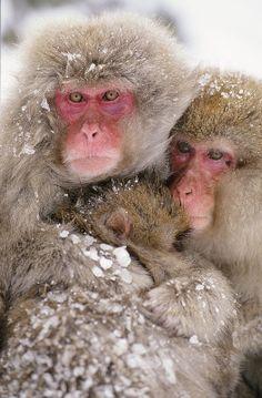 Family of Snow monkeys Nagano, Snow Monkeys, Japanese Macaque, Baby Animals, Wild Animals, Dog Show, Primates, Show Photos, Wildlife