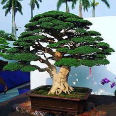I've been reading about how important the nebari (root flare) is for a bonsai tree. This tree has a beautiful root flare Board: Bonsai Buy Bonsai Tree, Flowering Bonsai Tree, Bonsai Tree Types, Bonsai Tree Care, Bonsai Trees, Bonsai Shop, Bonsai Garden, Garden Trees, Succulents Garden