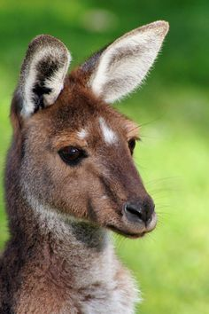 Download this free photo from Pexels at https://www.pexels.com/photo/brown-kangaroo-small-115024/ #animal #cute #macro