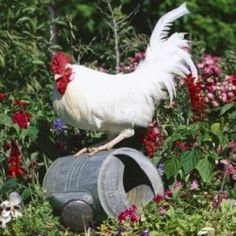 White Dorking Rooster - The Trouble with Roosters: How To Plan for Backyard Chickens