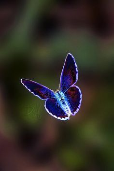 Blue Butterfly with light outlined wings