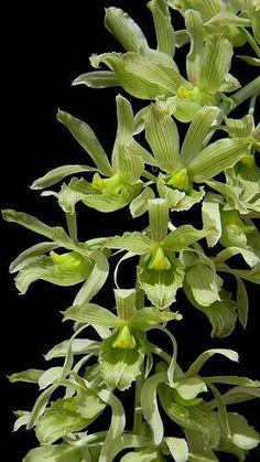 Dodsoniana clowesia