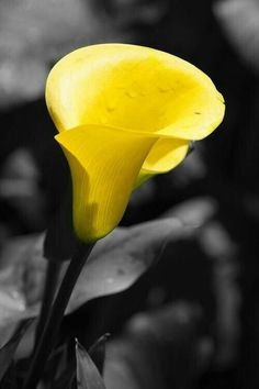 One of my favorite flowers yellow calla by laura zirino Black And White Pictures, Black And White Colour, Grey Yellow, Yellow Shades, Lemon Yellow, Yellow Photography, Splash Photography, Color Splash Photo, Calla Lily