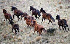 Wild NZ horses (Kaimanawas).