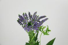 #Veronica #BlueBang; Available at www.barendsen.nl