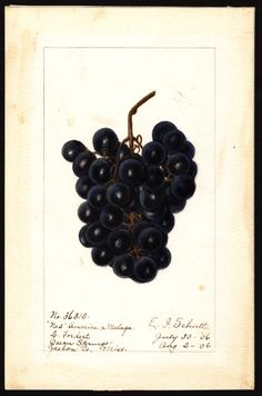 "Artist: Schutt, Ellen Isham, 1873-1955 Scientific name: Vitis Common name: grapes ""U.S. Department of Agriculture Pomological Watercolor Collection. Rare and Special Collections, National Agricultural Library, Beltsville, MD 20705"""