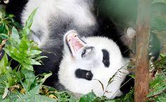 Emprestado da China, o panda gigante Kai Kai se exibe aos curiosos na inauguração do parque River Safari, em Cingapura.