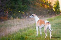 Joey loves walk into the wild #whippet @yummypets