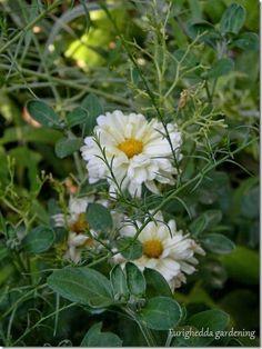 chrysantumum Poesie