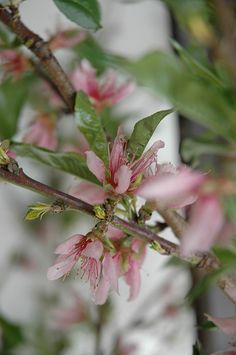 SUN 20'x20' -  Elberta Peach (Prunus persica 'Elberta') at Pender Pines Garden Center