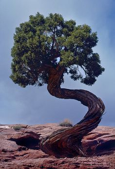 Tree at Dead Horse Point, Utah - (CC) John O'Sullivan - www.flickr.com/photos/53244690@N03/6085635051/in/set-72157627718356693/