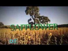CLA SAFFLOWER OIL: INEXPLICABLE HEALTH BENEFITS. Cla Safflower Oil, Healthy Facts, Health Benefits, Youtube, Youtubers, Youtube Movies