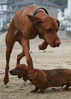 Dennis (Hungarian Vizsla) jumps over Romeo (Standard Dachshund) . on Ventnor beach, Isle of Wight, UK. Dapple Dachshund, Dachshund Puppies, Dachshund Love, Standard Dachshund, Weenie Dogs, Daschund, Best Dog Breeds, Best Dogs, Weimaraner
