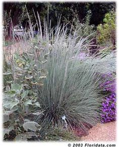 Muhlenbergia Linheimer (Lindheimer's muhly grass) - bluish gray foliage 2-4'x1-2 tall arching. Flowers up to 5' start purple age to gray early fall thru winter. Full Sun/LS, drought tolerant.