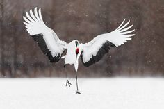 Red-crowned Crane Archives • Page 3 of 4 • Yurukaze