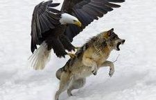 7 World& Largest Eagle Attack Eagles vs Bears vs Fox vs Humans The Eagles, Eagles Vs Bears, Big Animals, Nature Animals, Animals And Pets, Wild Animals Attack, Animal Attack, Eagle Images, Eagle Pictures