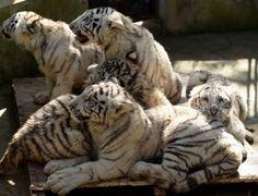 Filhotes de tigre branco brincam juntos no Parque de Animais Selvagens Yunnan, em Kunming, na China. Um raro grupo de quíntuplos nasceu em 26 de outubro de 2015 no parque. Todos os filhotes sobreviveram ao período neonatal frágil, o que impressionou os especialistas