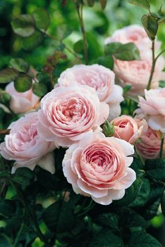 queen of sweden rose- love this variety