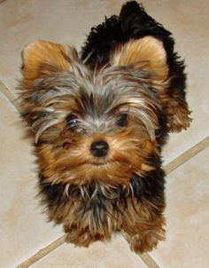 Yorkshire Terrier Puppies   Coco the Yorkshire Terrier Pictures 594902