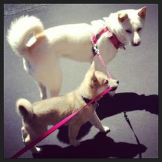 Jindo Love - Who is walking who?