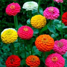 Mixed Lilliput Zinna Flower Seeds Most Double by RetroRockingCafe, $1.00