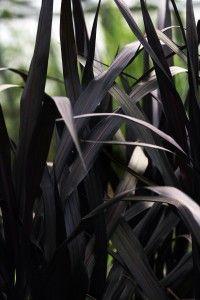 We Love First Knight Napier Grass – Horticulture – Annual Plants Moon Garden, Dream Garden, Garden Design Ideas On A Budget, First Knight, Gothic Garden, Midnight Garden, Dark Flowers, Black Garden, All Nature