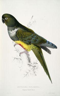 Psittacara patagonica. Patagonian parrakeet-maccaw