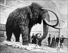 Recreation of what a Woolly Mammoth might have looked like.