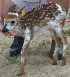 baby piebald deer -- kinda like the one that just walked through my backyard
