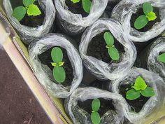 Известно, что тыквенные культуры плохо переносят пересадку. Поэтому огурцы сеют семенами сразу в грунт. Но в наших местах тепло приходит, как правило, поздно, и огурцы поспевают не раньше конца июля. …