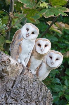 A \'3-of-a-kind\' of Barn Owls.