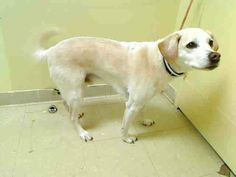 SAFE --- Staten Island Center   LUCY - A0998090   NEUTERED MALE, CREAM / WHITE, LABRADOR RETR MIX, 7 yrs  STRAY - ONHOLDHERE, HOLD FOR ID Reason STRAY   Intake condition GERIATRIC Intake Date 04/29/2014, From NY 10309, DueOut Date 05/02/2014 https://www.facebook.com/Urgentdeathrowdogs/photos_stream