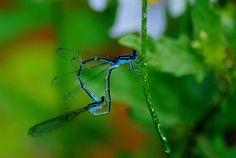2 Dragonflies