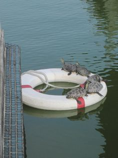 """formosansnowleopard: """" Someone knocked the life saver ring into the pond, so the turtles threw a pool party. """" The rule of turtles: whenever a turtle is present, you're automatically having a party."""
