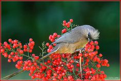 Mousebird nibbling on some berries - South Africa.