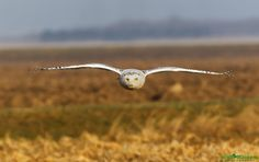 Snowy Owl - Incoming
