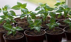 Chiliplanter i potter i vindueskarm
