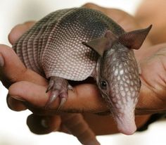 Baby armadillo, these are very intriguing animals...