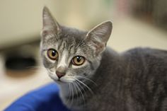 Grace is an adoptable Domestic Short Hair Cat in Auburn, NY. Grace is an absolutely adorable and striking kitten, with her grey tiger markings with white stripes and amber eyes....
