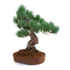 vente de bonsai pinus thunbergii pin noir du japon 27 cm sankaly bonsa acheter en ligne. Black Bedroom Furniture Sets. Home Design Ideas