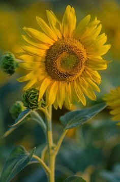 Photo Sunflower by Yuri Liskevych on 500px
