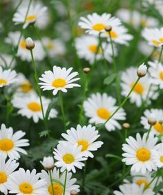 The Oxeye Daisy (Leucanthemum vulgare) is a perennial and produces large white flowers with golden eye centres, growing to during May-October. British Wild Flowers, Daisy, Lavender Roses, Garden Pictures, Horticulture, Garden Plants, Flower Power, Perennials, Planting Flowers
