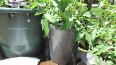 Managing Blossom End Rot in Container Tomatoes: Pelleted Lime/Calcium - ...