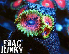 Hallucination Palys  http://FragJunky.com  http://Facebook.com/FragJunkyCorals