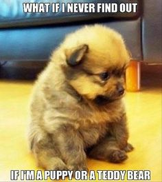 Funny Animal Picture ADORABLE am I puppy or a teddy?